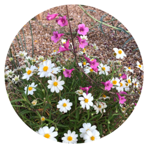pink penstomens and daisies